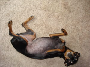 Sasha, a black Min Pin, laying on her back exposing her belly looking like a little cutie pie.